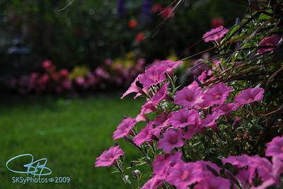 Late August petunias
