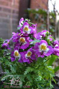 Schizanthus in the front bed.
