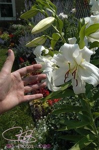 Huge Easter Lilies......in July?