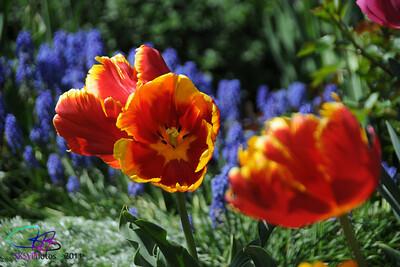 New Parrott tulips.
