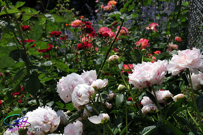 Peonies and roses.  6/7/11