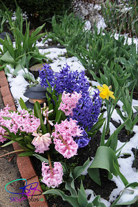 April 18 snow on hyacinths and daffodil.