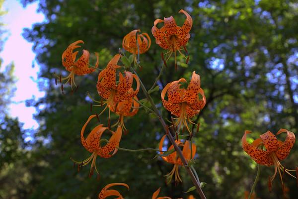 Leopard lilies: Lilium pardalinum