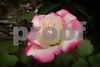 P1020571 Libby's Rose