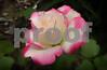 P1020571 Libby's Rose crop 1