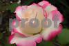 P1020571 Libby's Rose crop 2
