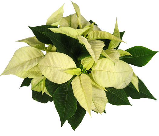 Poinsettia Image Gallery