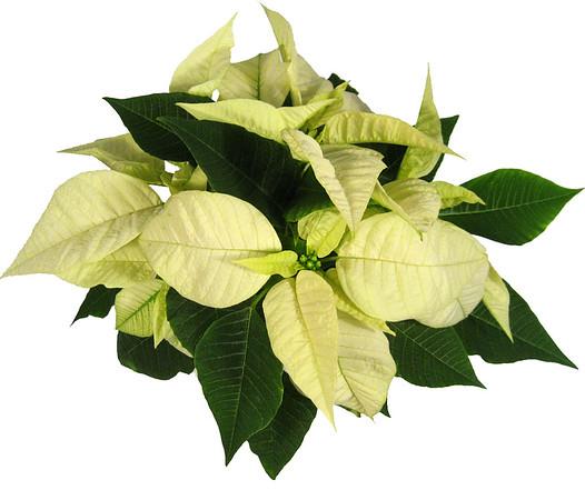 Poinsettia Image Gallery