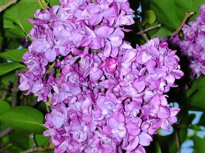 Lilac 2008