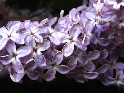 Lilac by Richard Lazzara
