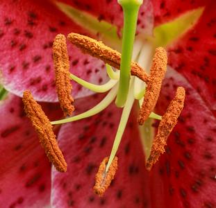 Lilies 7-26-2014