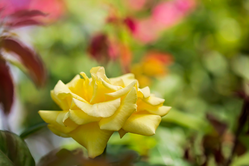 Yellow Rose of Oregon