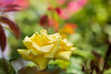 Yellow Rose of Oregon