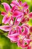 Liz's Lilies