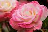 Sun-Rose