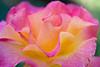 Gossamer Rose