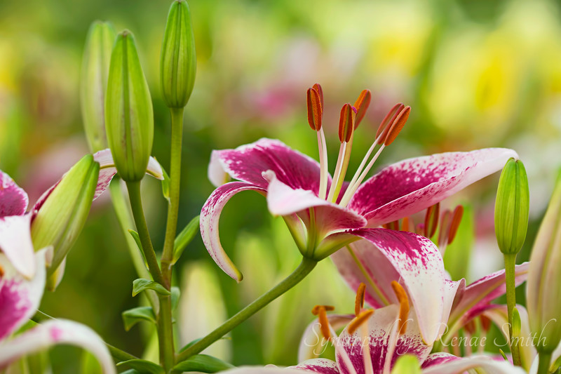 Time for Lilies