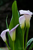 Beauty Never Sleeps<br /> <br /> I couldn't resist these amazing calla lilies.  I've never seen them this color before.