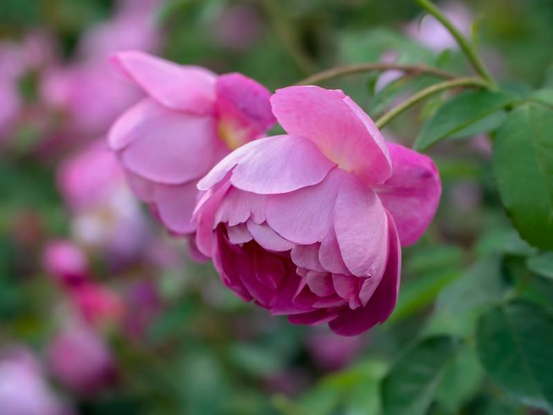 Tend a Rose