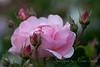 Even Roses Dream