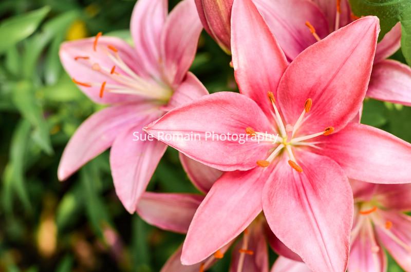 Pink Tiger Lilies 3