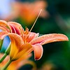 Daylily and Buds 2