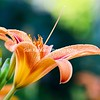 Daylily and Buds