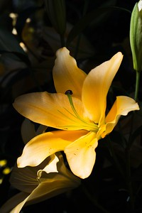 Daylily at Longwood Gardens