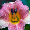 Lily in the Rain