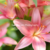 Pink Tiger Lilies