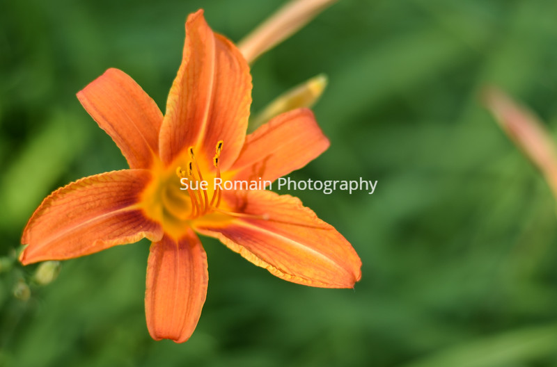 Daylily From the Top