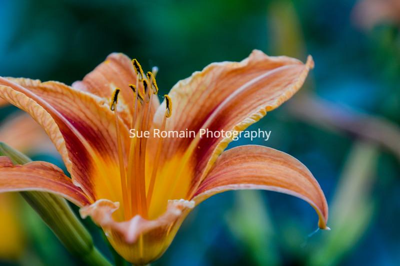 Daylily Closeup