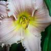 Backyard Lily