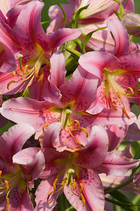 Pink Asiatic Lilies