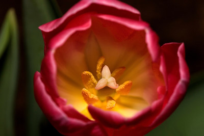 A Bee's View of a Tulip