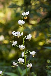 White Nodding Lily, Lilium cernuum