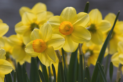 (More) Yellow and Orange Daffodils