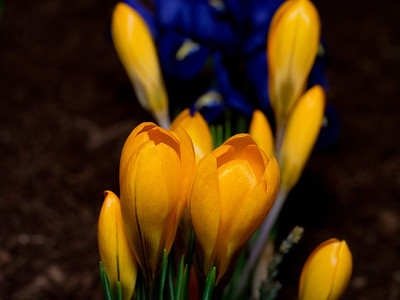 Yellow Crocus, Crocus flavus