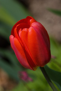 Red and Pink Tulip