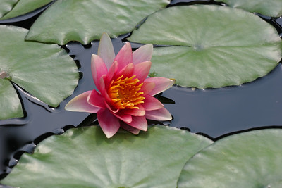 Red Water Lily, Longwood Gardens , Kennett Square, PA