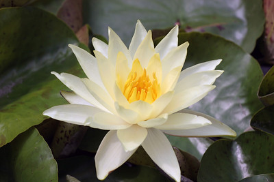 White Water Lily, Longwood Gardens , Kennett Square, PA
