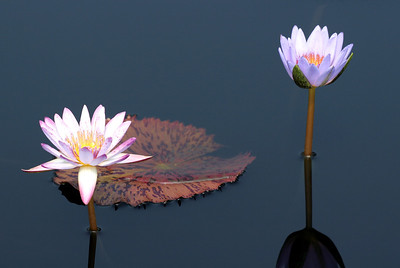 Pink and Violet Water Lilies, Longwood Gardens , Kennett Square, PA