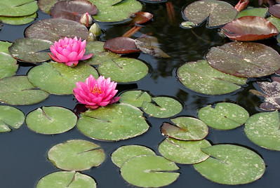 Two Red Water Lilies                                                         Taken at Longwood Gardens, Kennett Square, PA  http://www.longwoodgardens.org/
