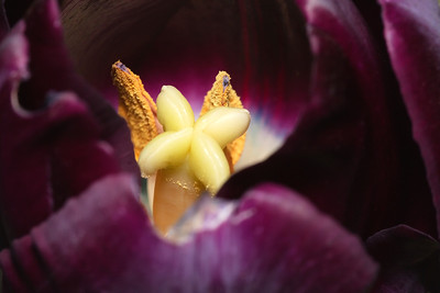 In a Purple Tulip