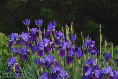 Iris field -- DSC_0314