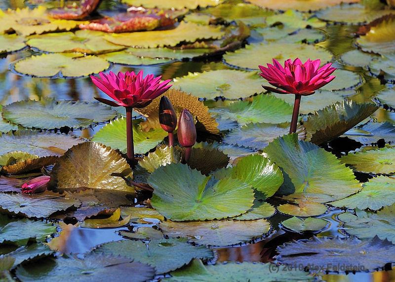Lillies<br /> at Fairchild Tropical Gardens, Miami