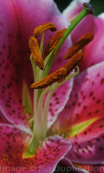 Sunset Lilly 2009<br /> (2x3)