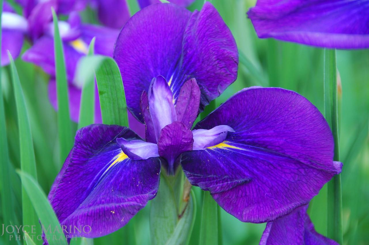 Purple Iris -- DSC_0376