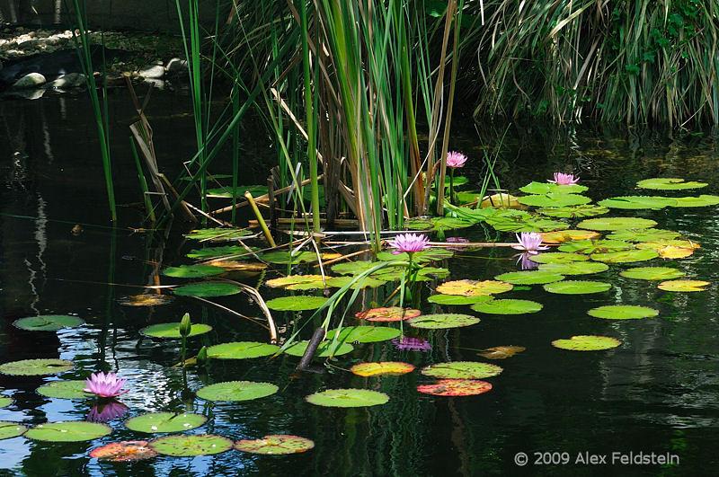 Lilies<br /> at Fairchild Tropical Gardens, Miami