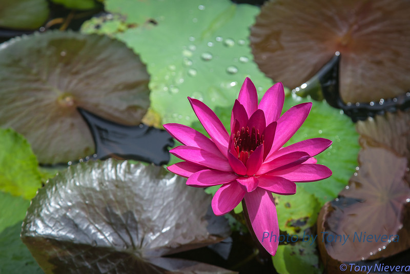 At O's garden in McKInley Hill, Taguig, Philippines... this lily plant is from Bangkok
